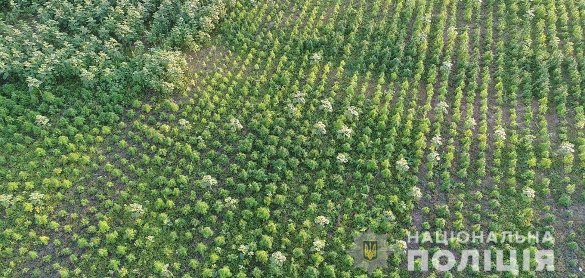 На Херсонщині знищили коноплі на 300 млн грн