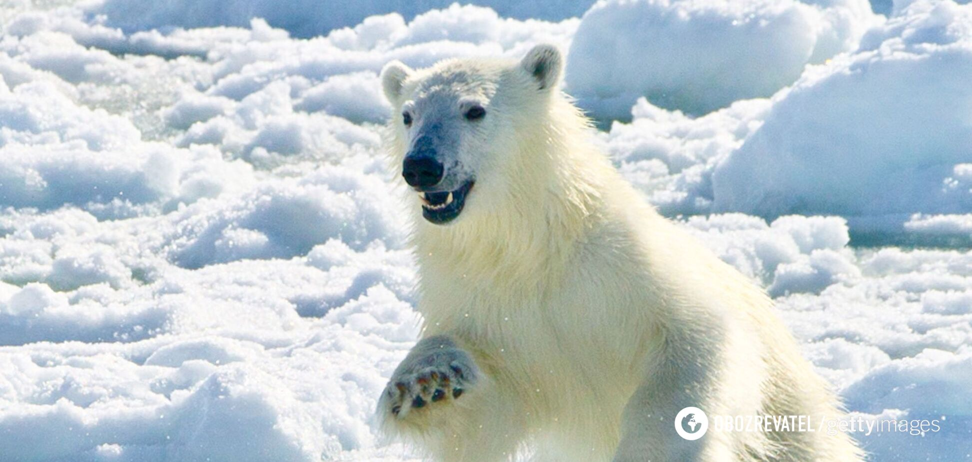 В Арктике стремительно тает последнее пристанище белых медведей