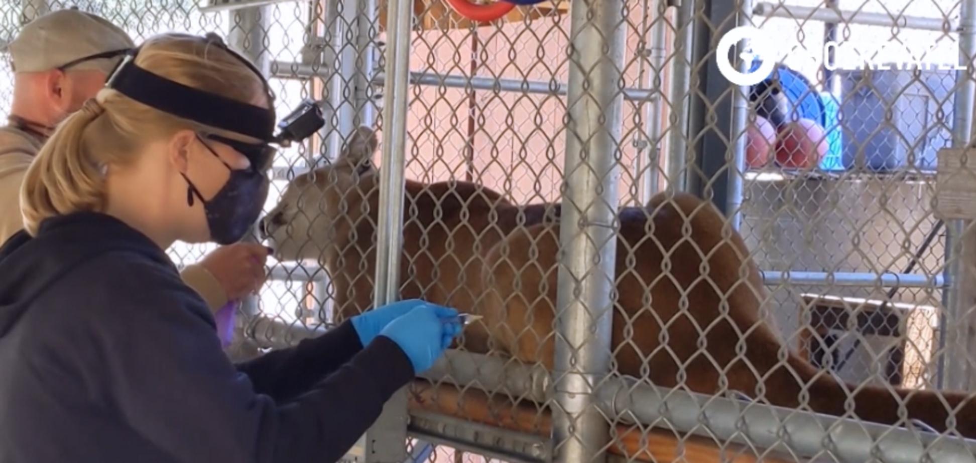 В США вакцинируют животных против COVID-19