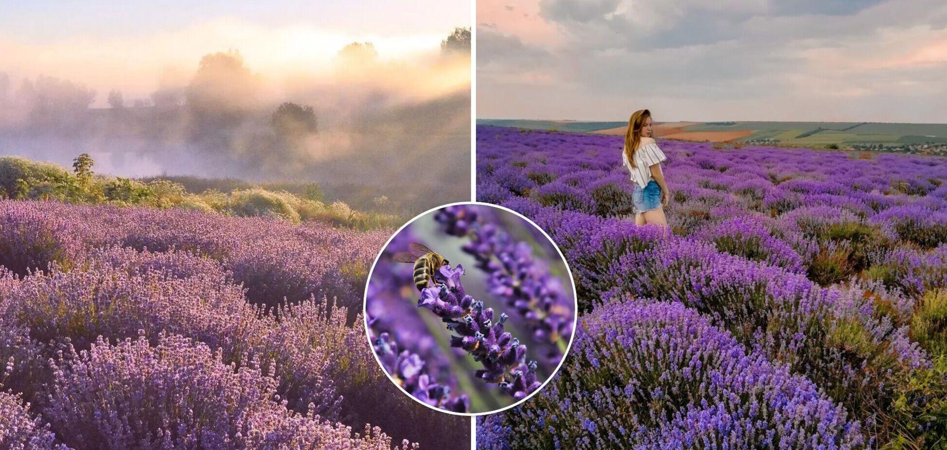 В Украине массово цветут лавандовые поля: где лучшие локации для фотосессий