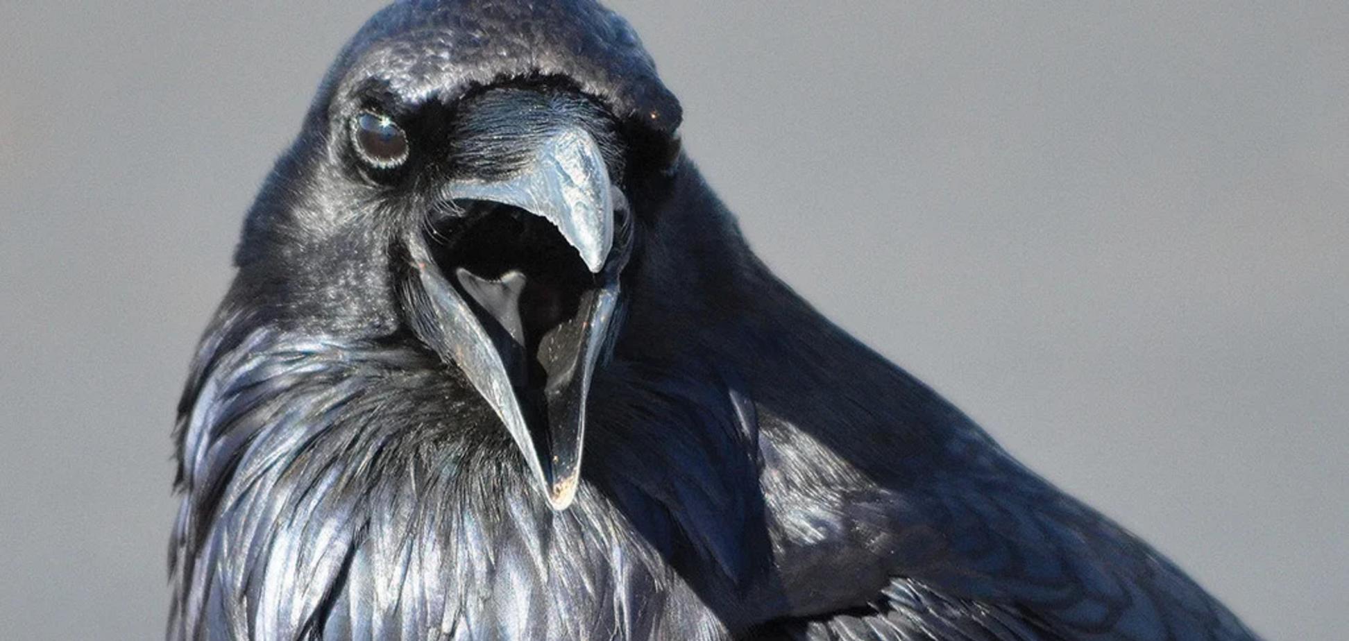 Ворони знищили потомство інших птахів