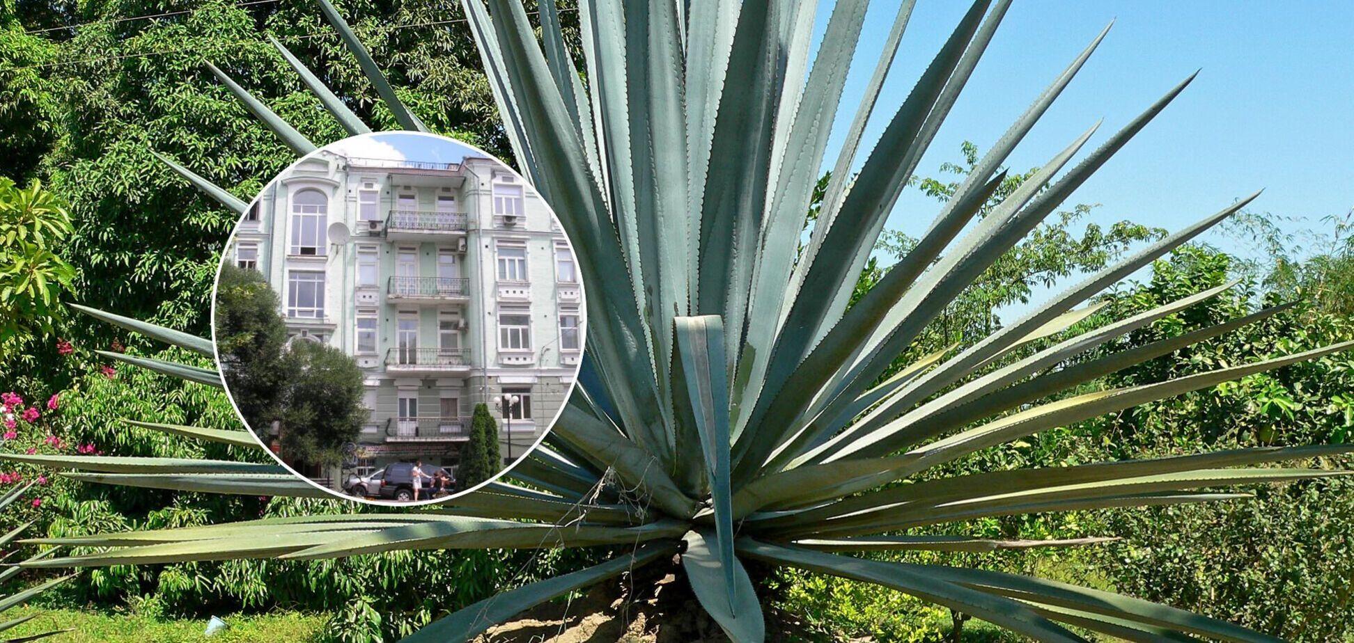 У Києві покажуть мексиканську агаву і дивовижні кактуси