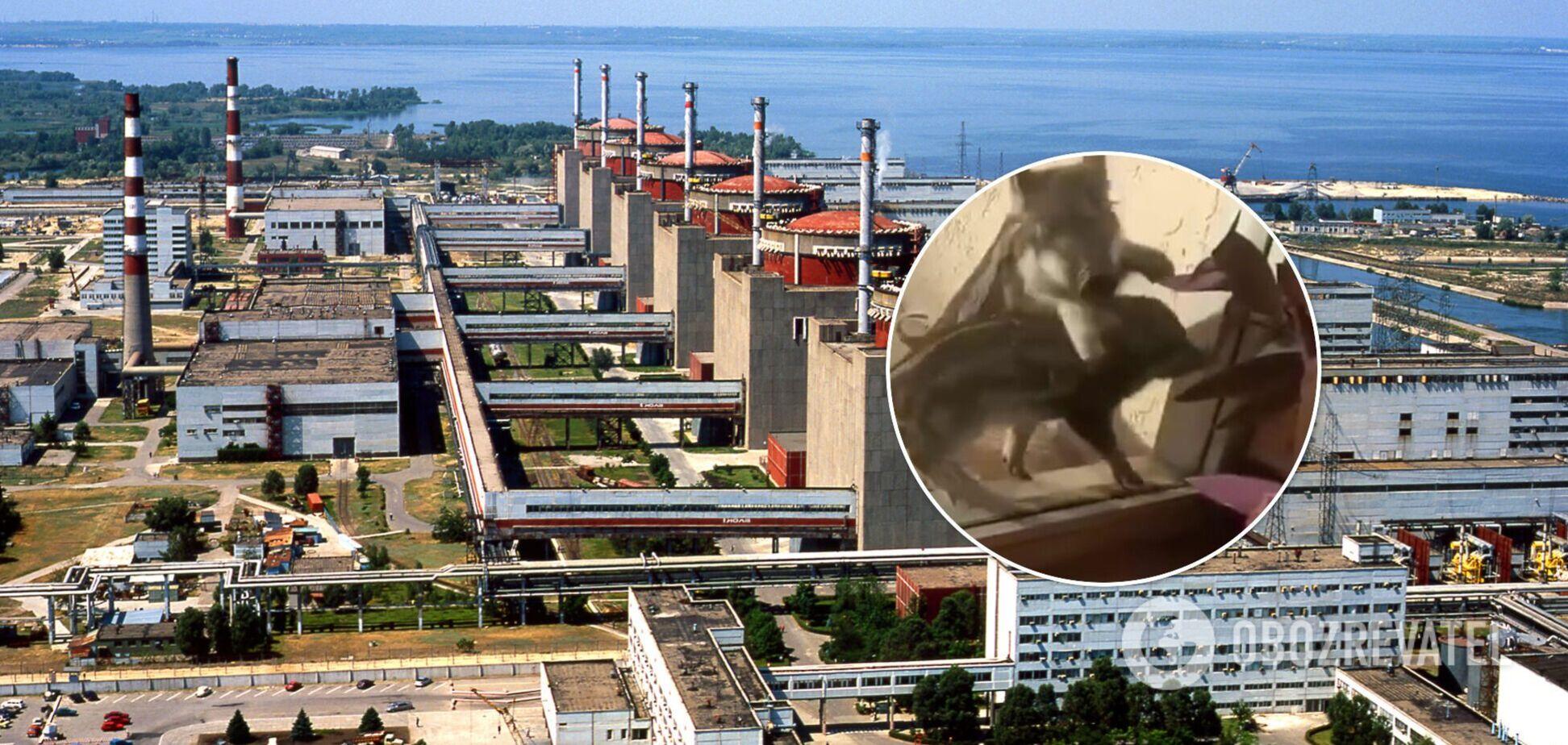 Под Запорожьем дикие кабаны 'атаковали' атомную электростанцию. Видео