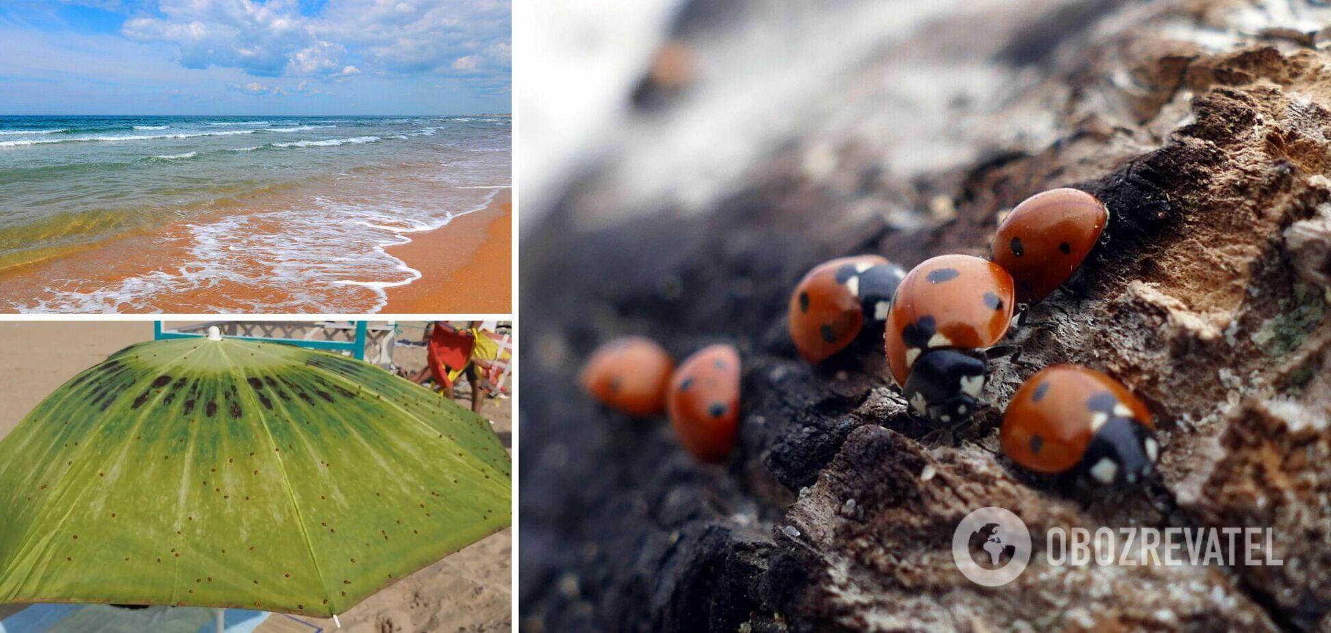 После потопов пляжи в Анапе атаковали комары и агрессивные божьи коровки. Видео