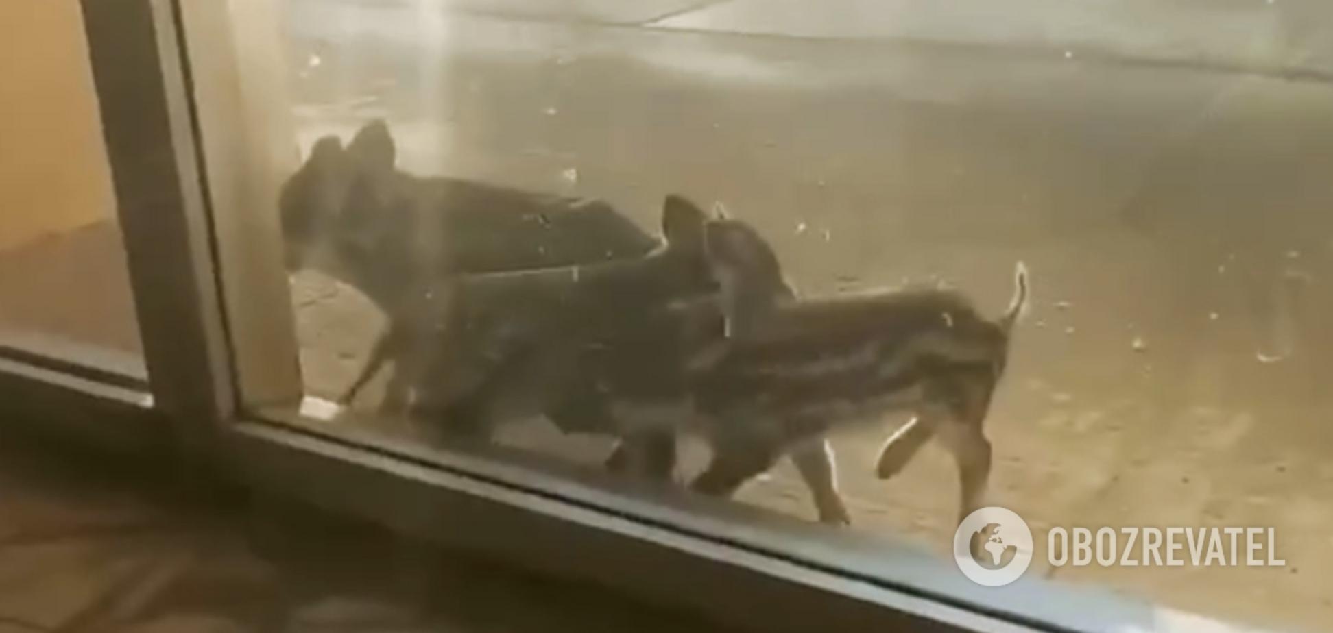 На Запорожскую АЭС пытались проникнуть дикие кабаны