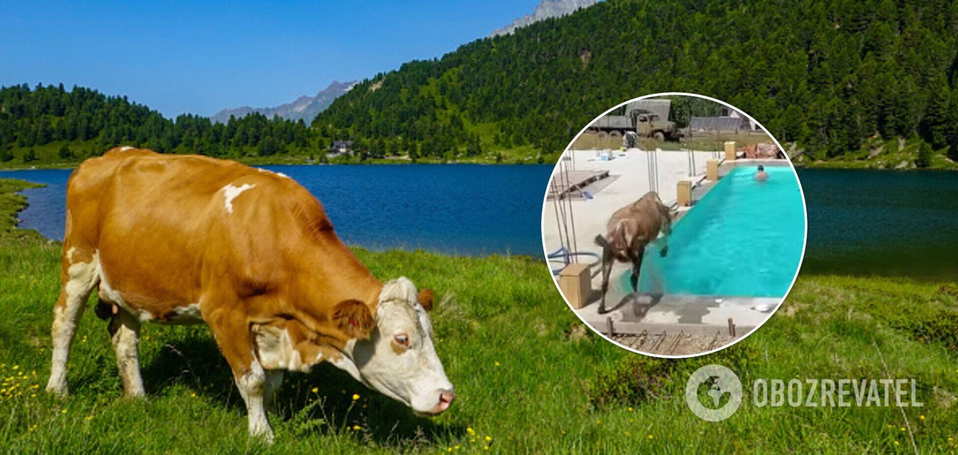У Карпатах корова стрибнула в басейн із туристами. Відео