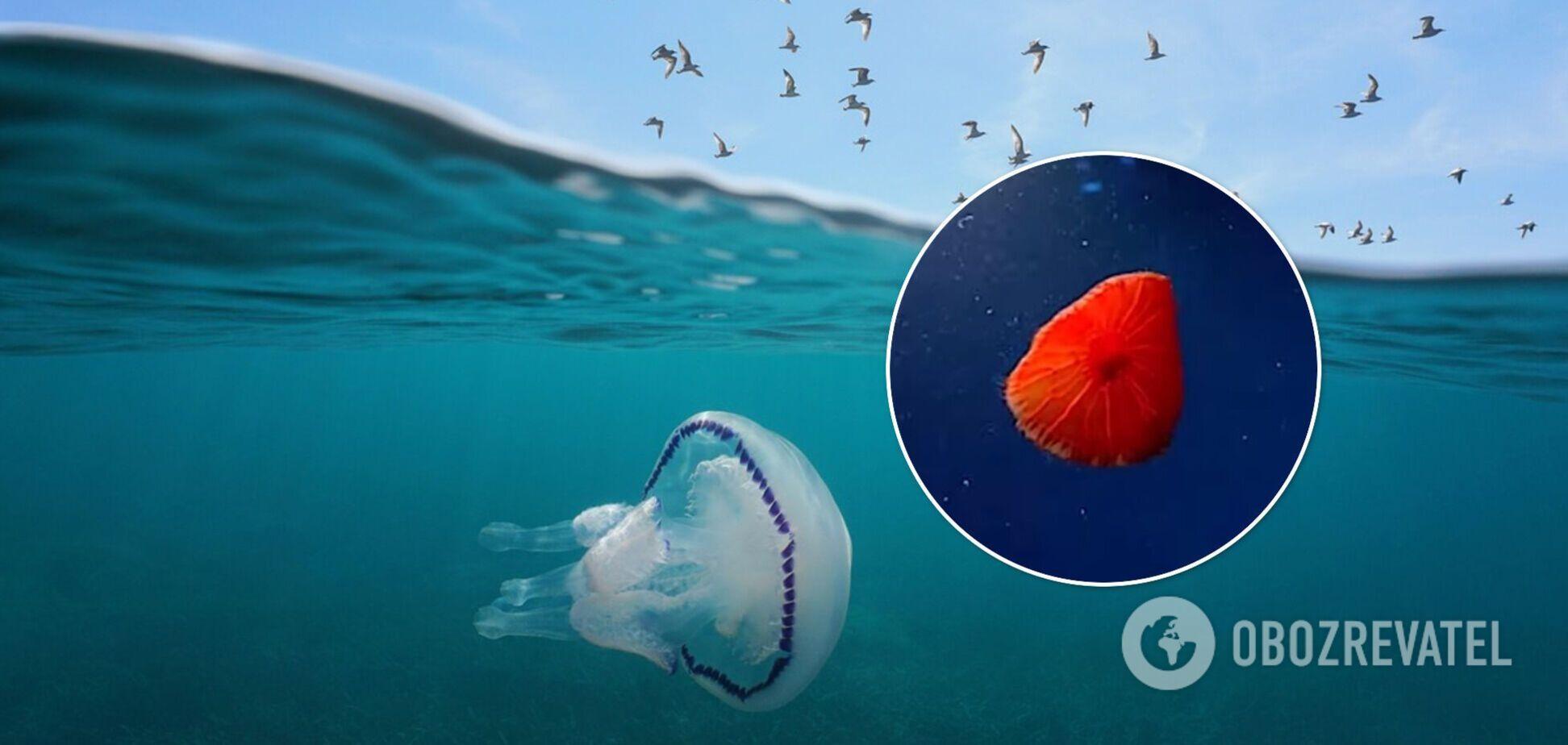 В Атлантичному океані виявили новий вид медуз. Фото і відео