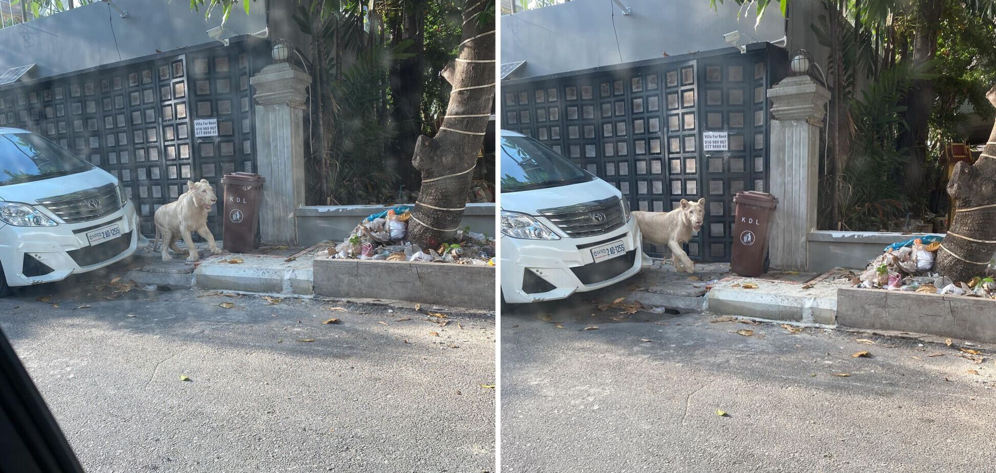 Лев сбежал от хозяина и гулял по городу