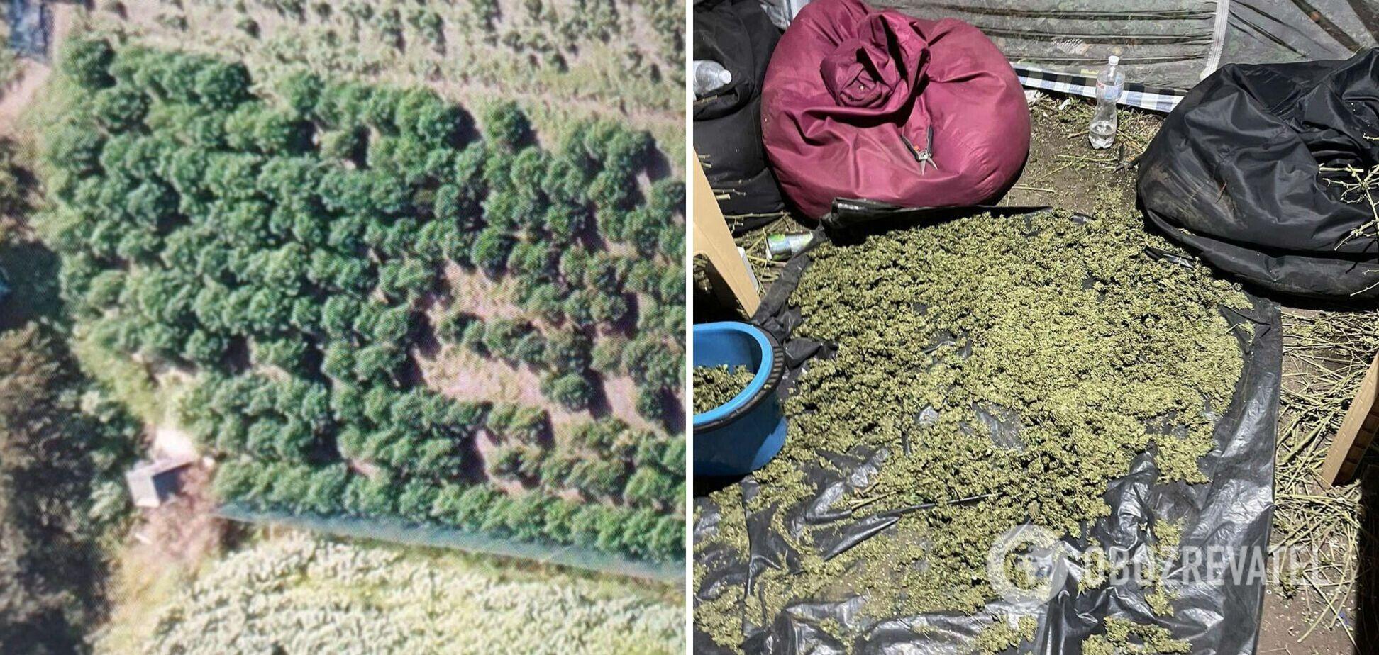 На Днепропетровщине обнаружили плантацию конопли на 11 млн гривен. Фото и видео