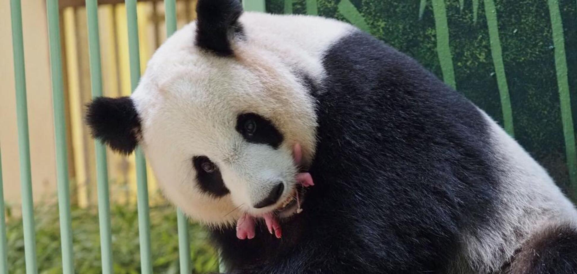 У Франції панда вперше народила двох дитинчат