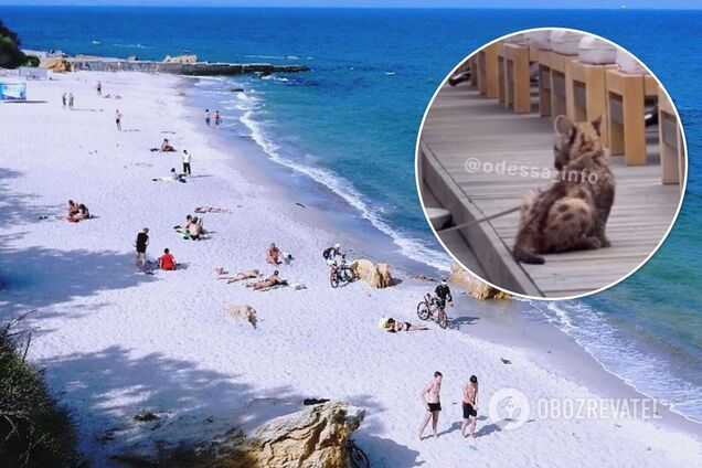 На одесском пляже увидели маленького леопарда, привязанного возле шезлонгов. Видео