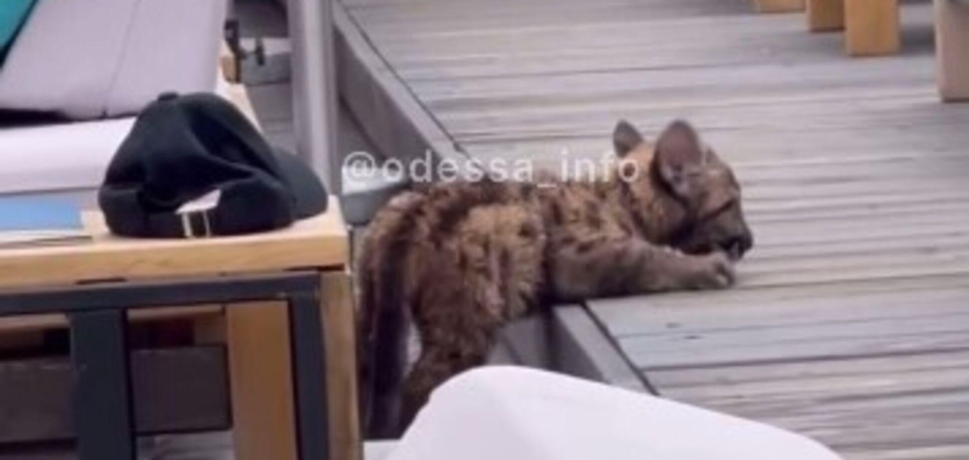 В Одесі помітили леопарда