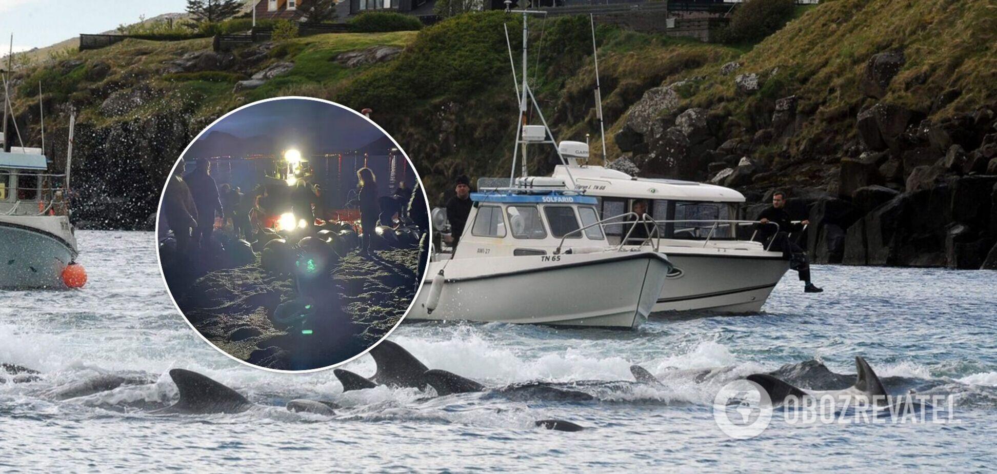На Фарерських островах вбили майже 1,5 тисячі дельфінів: китобої визнали свою помилку