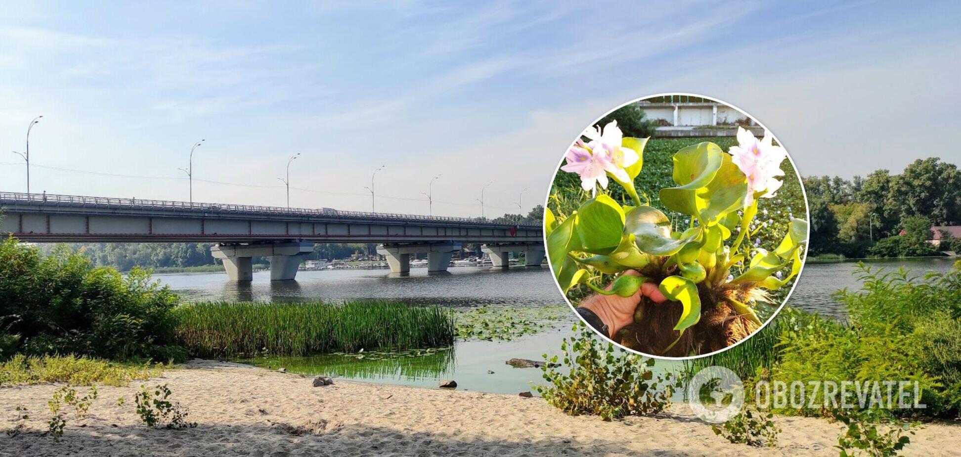 Ейхорнія загрожує біологічному різноманіттю водойм