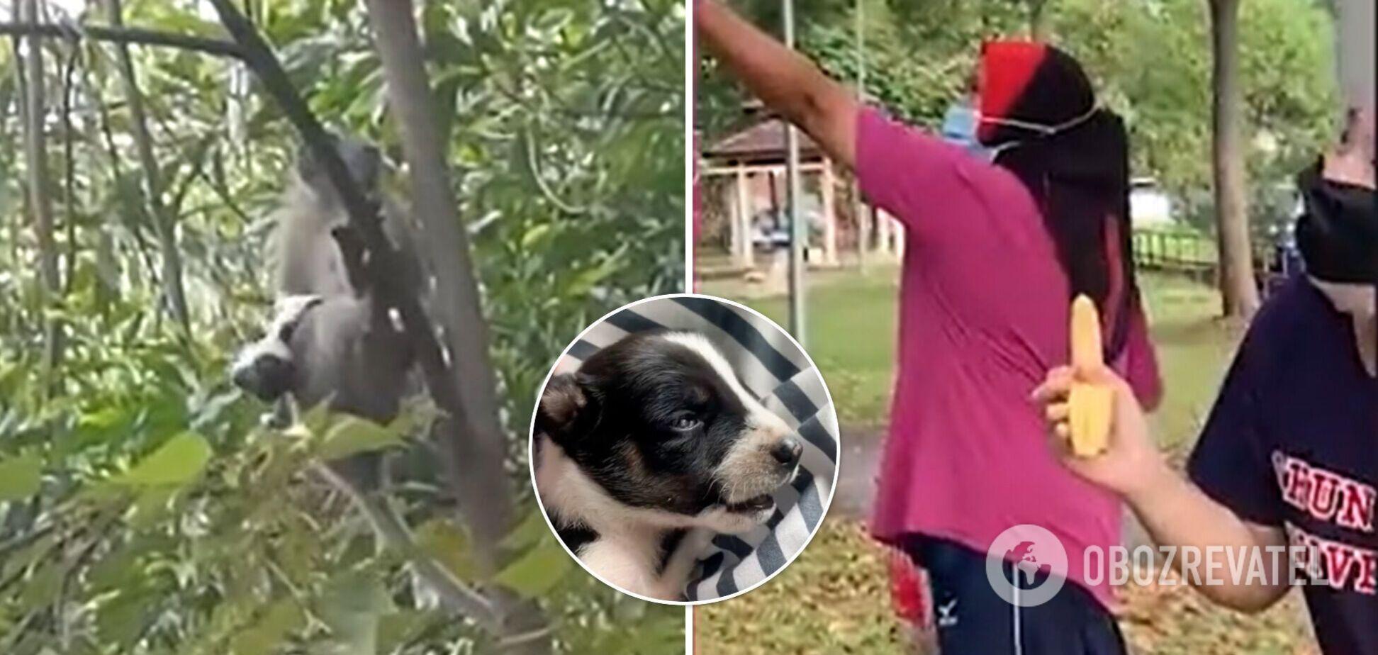 Обезьяна украла щенка и три дня лазила с ним по деревьям. Видео