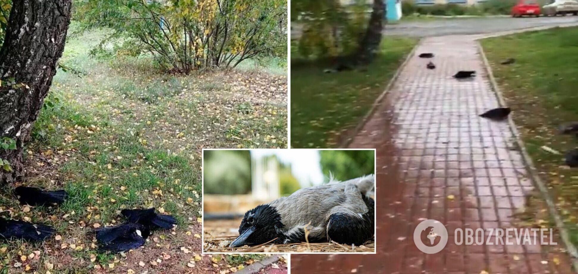 В России зафиксировали массовую гибель ворон: мертвые птицы падали прямо на прохожих. Фото и видео