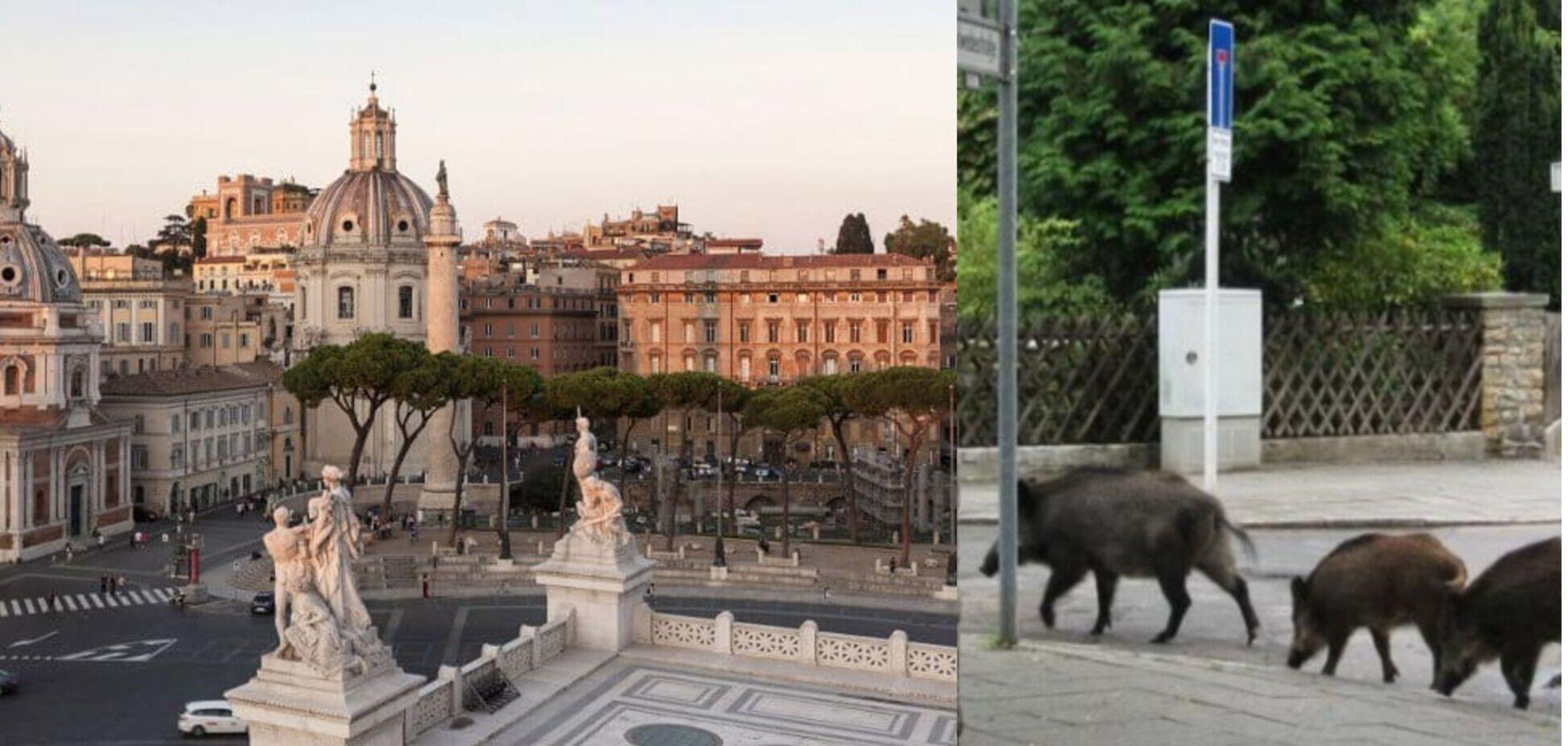 Как у себя дома: по Риму бегают дикие кабаны. Фото