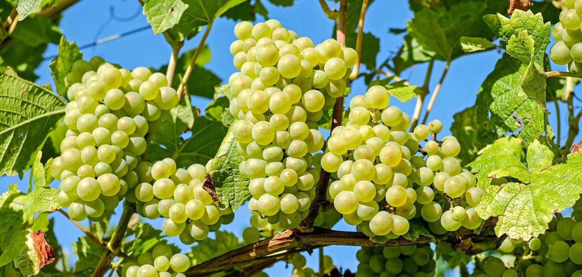 Цены на виноград в Украине обвалились