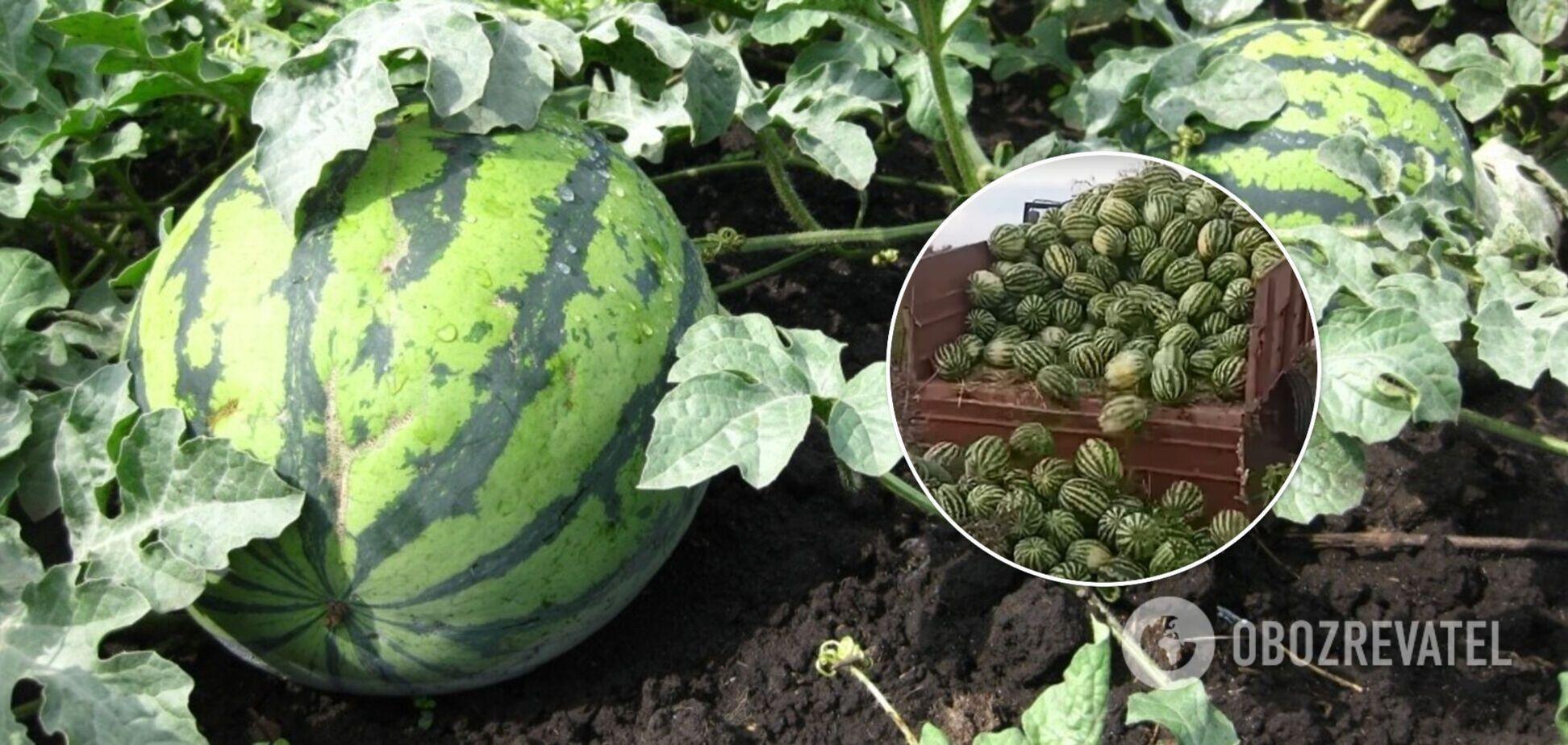 Херсонские фермеры выбрасывают арбузы из-за небывалого урожая. Видео
