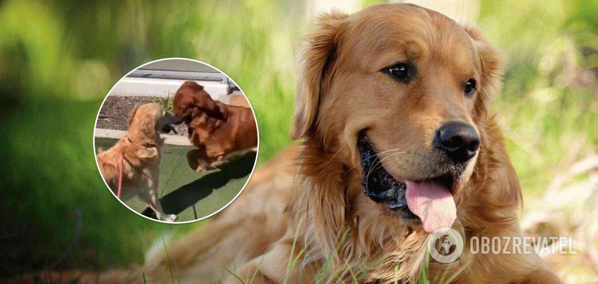 Закохані собаки стали зірками TikTok. Відео