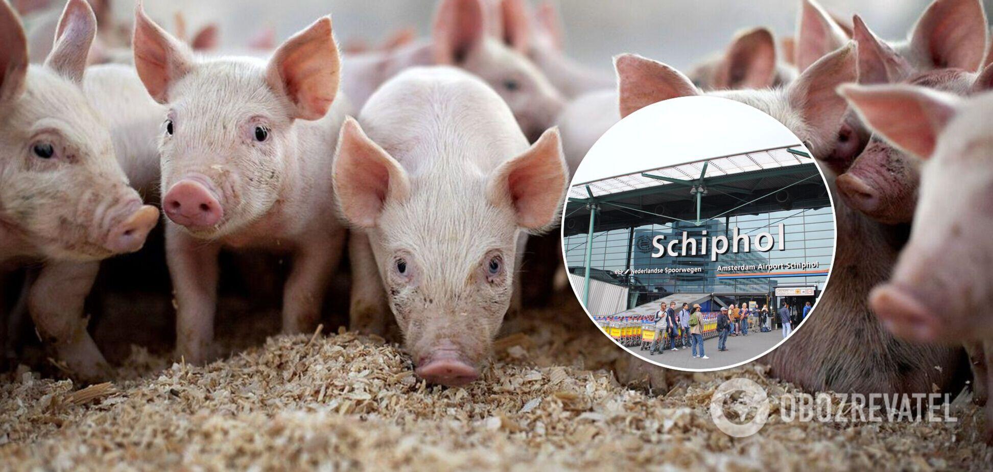 В аеропорту Нідерландів працюватимуть десятки свиней