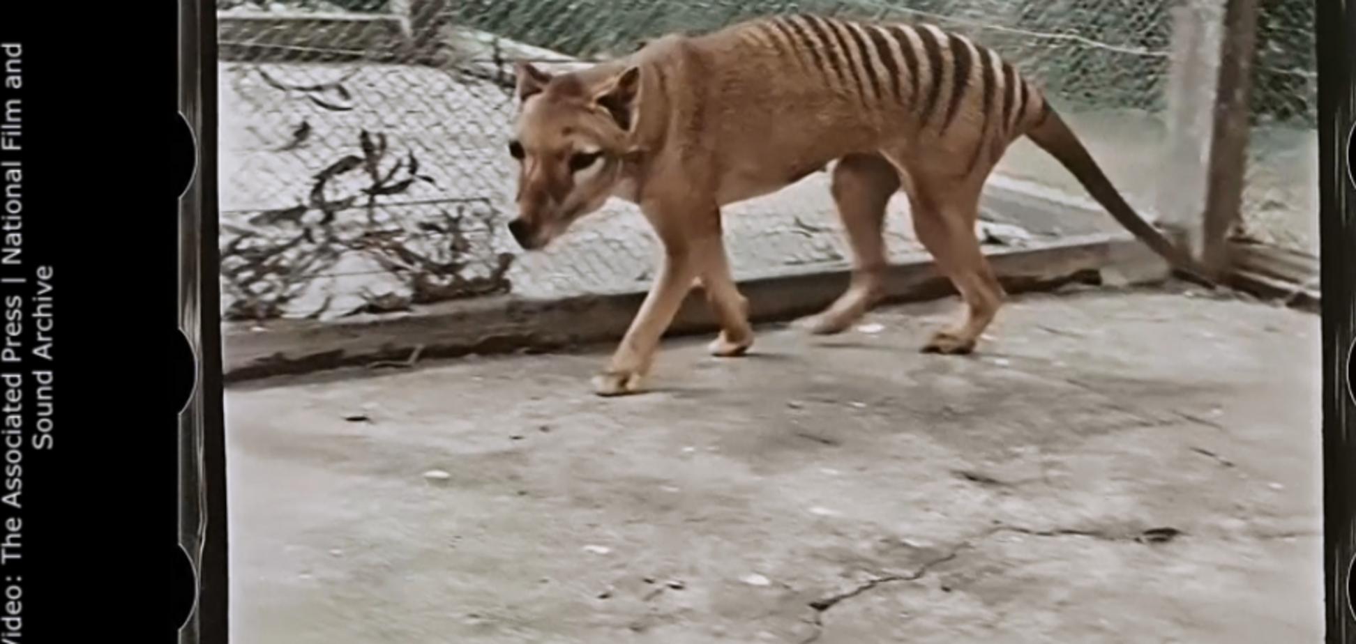 З'явилось кольорове відео із останнім у світі сумчастим тигром з Тасманії